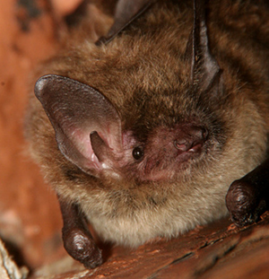 Columbus Little Brown Bat